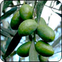 Picual EVOO, Chile, Mild Intensity